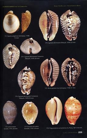 colombian seashells